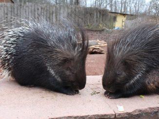 Die Stachelschweine sind stets auf der Suche nach Verzehrbarem.