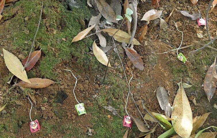Hallesche Forscher haben Teebeutel in einem chinesischen Wald vergraben. Foto: Stefan Trogisch.