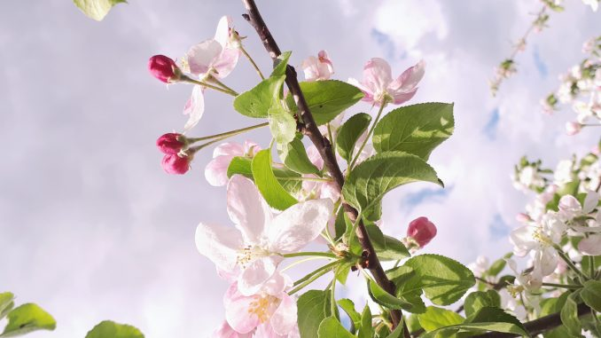 Frühling Blüten Obstbaum