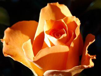 Rose Pflanze Floristik