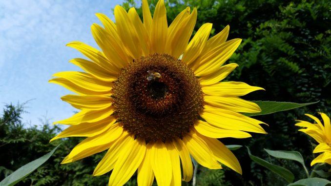 Biene Insekten Natur Sonnenblume