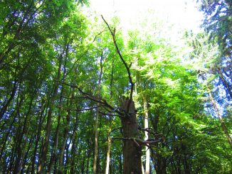 Wald Baum Klima