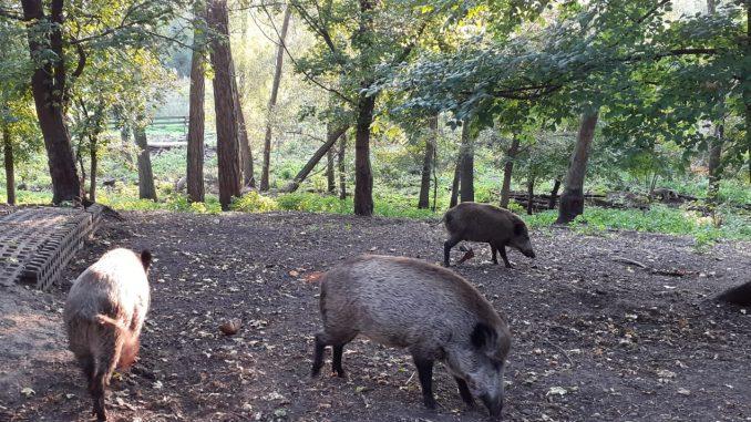 Wildschweine ASP Afrikanische Schweinepest