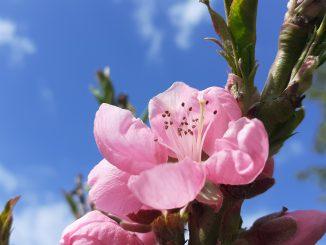 Nektarinenblüte Frühling