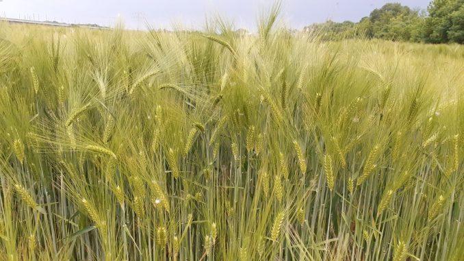 Getreide Feld