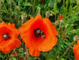 Mohn mit Biene