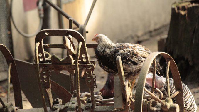 Huhn Geflügel